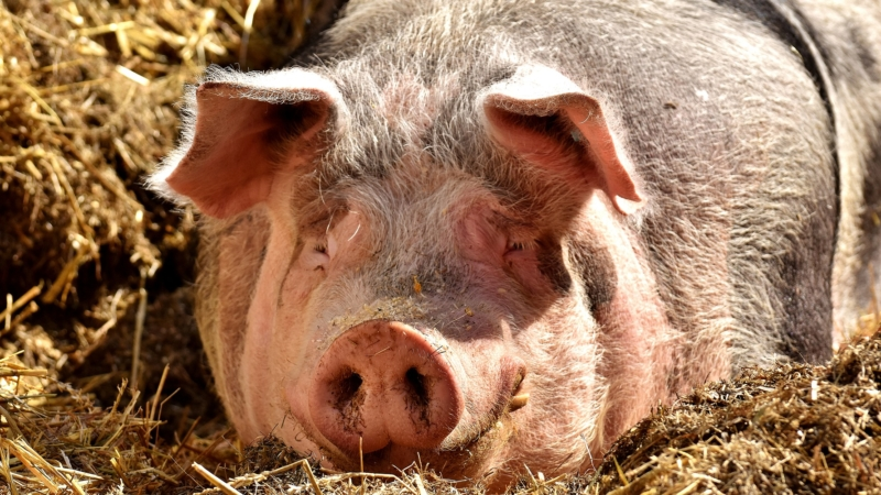 La détention de porcs hors élevage